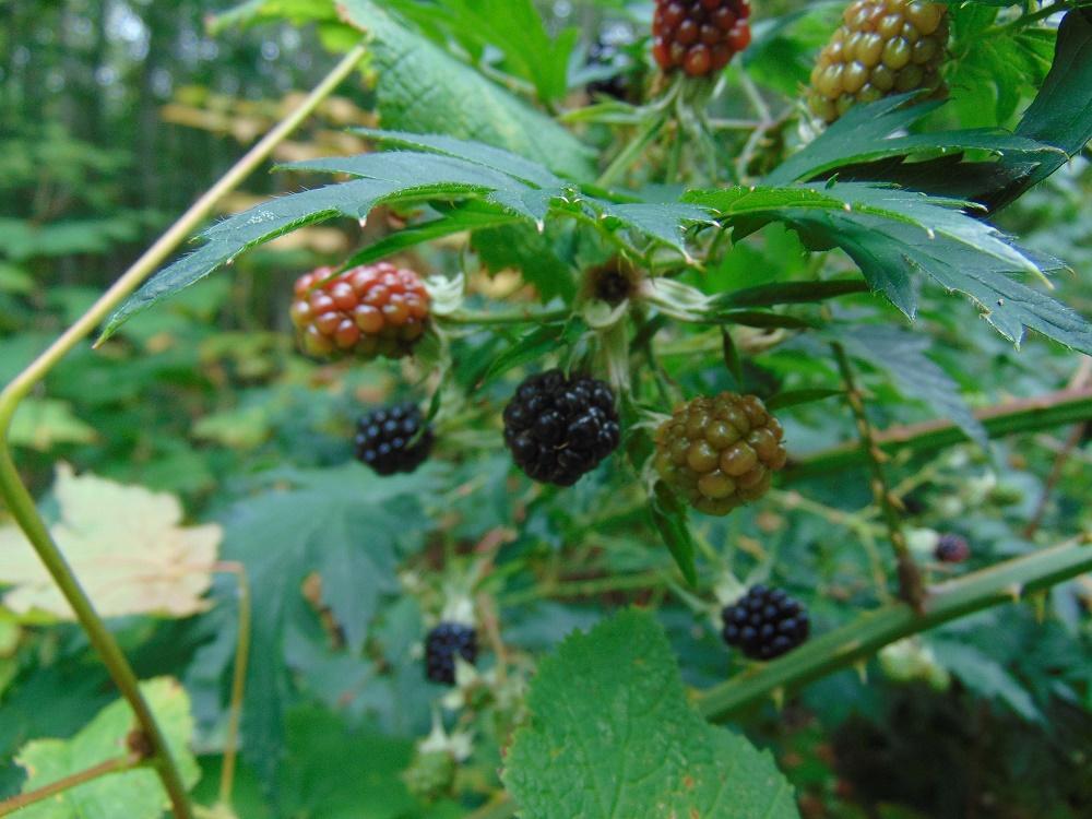 Evergreen Blackberries, Pacific Northwest