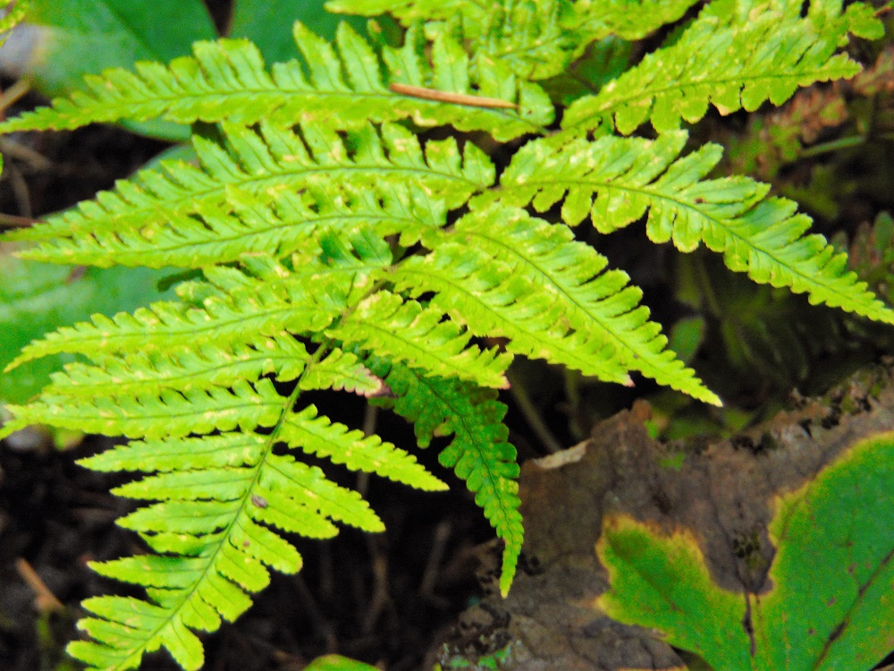 Spiny Wood Fern, Vancouver Island, BC