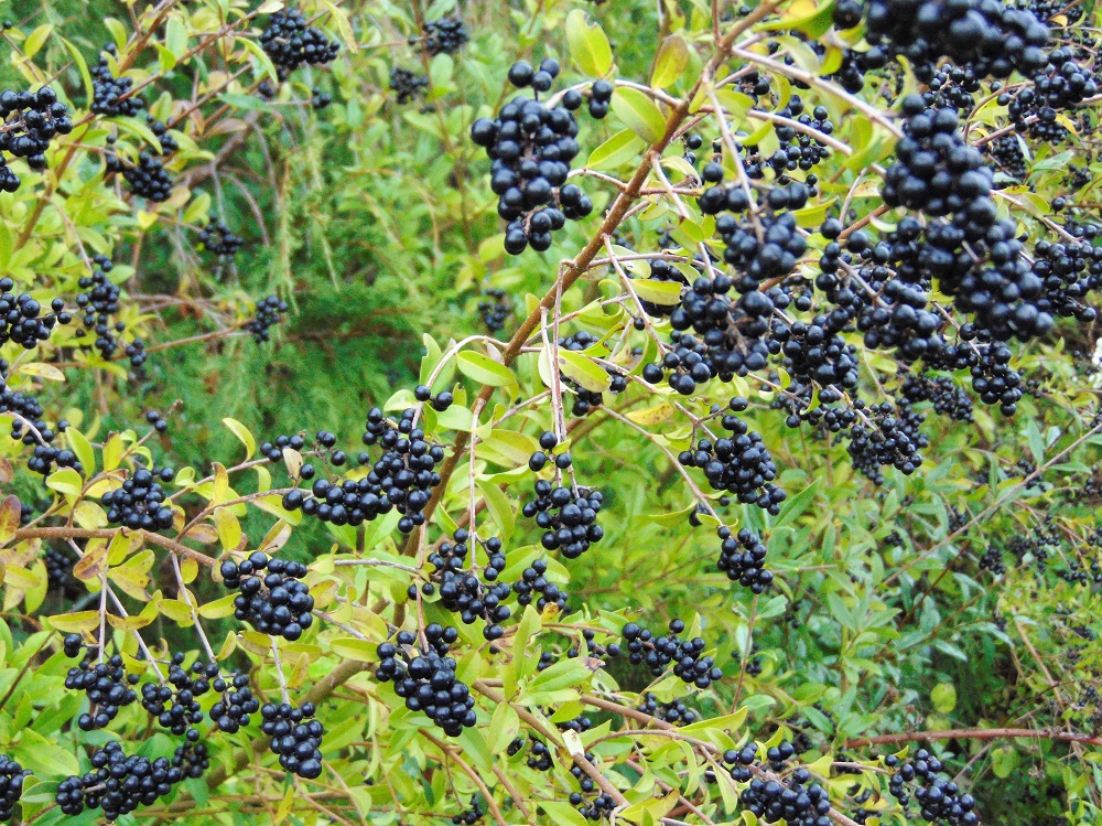 Cascara Berries, Deciduous Trees, Trees, Pacific Northwest