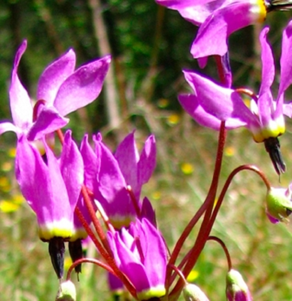 Hendersons Shooting Star, Wildflowers, Pacific Northwest