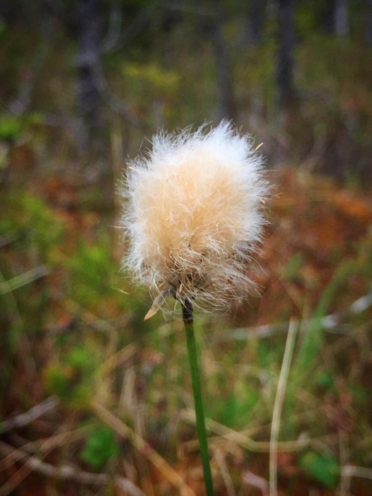 Cotton Grass, Wildflowers, Pacific Northwest