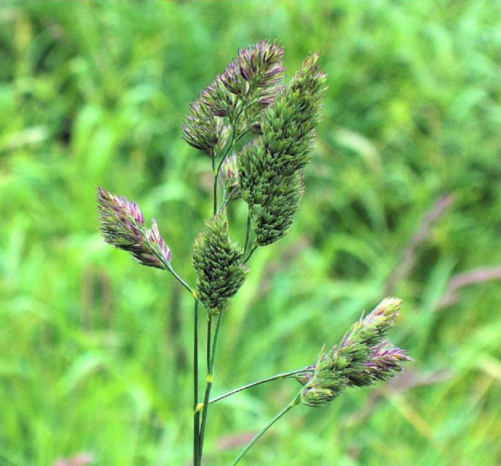Orchard Grass, Vancouver Island, BC
