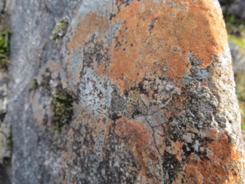 Rhizocarpon Oederi Lichen, Lichens, Pacific Northwest