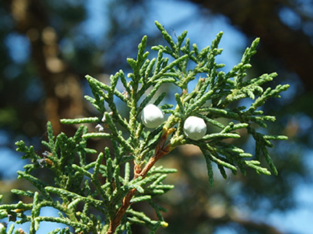 Juniper Trees, Coniferous Trees, Trees, Pacific Northwest