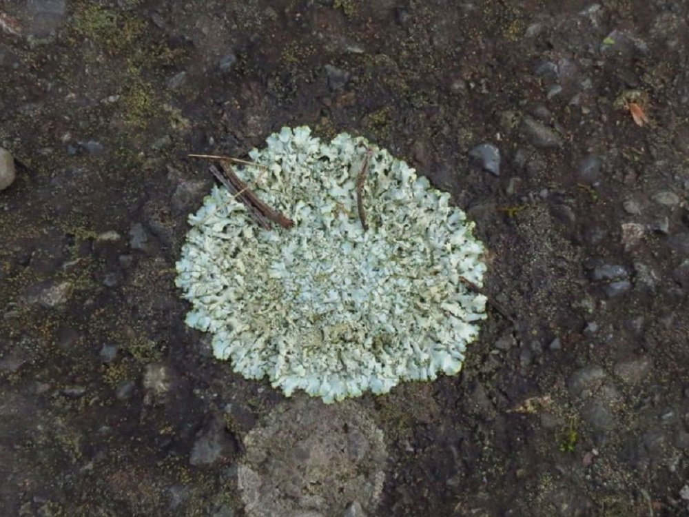 Shingled Rock Shield Lichen, Lichens, Pacific Northwest