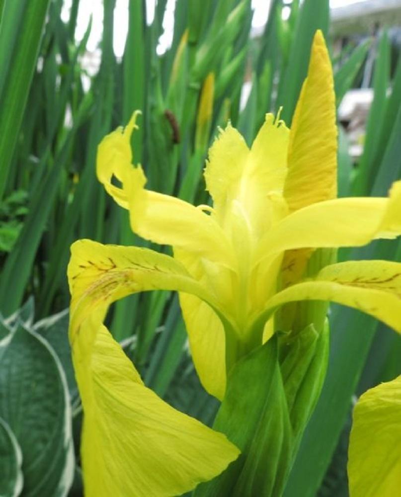 Yellow Flag Iris, Pacific Northwest