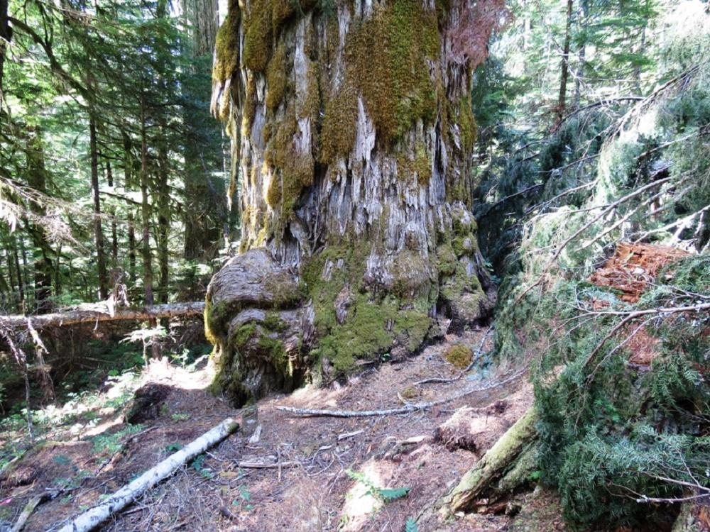 Admiral Broeren Cypress Tree, Big Trees, Pacific Northwest