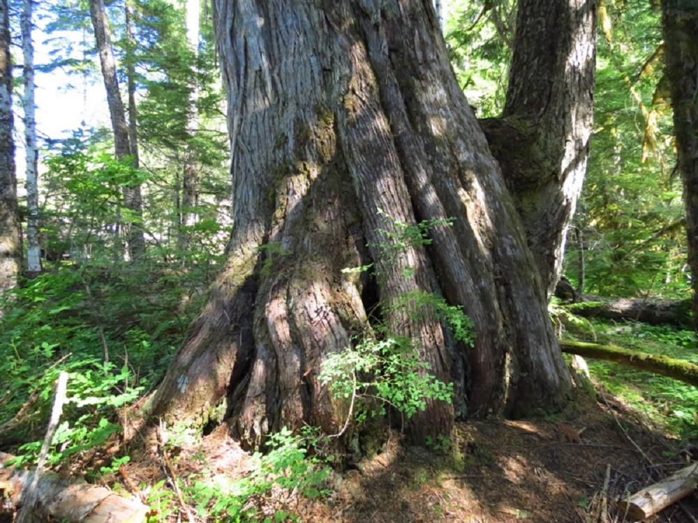 Cypress Trees, Coniferous Trees, Trees, Pacific Northwest
