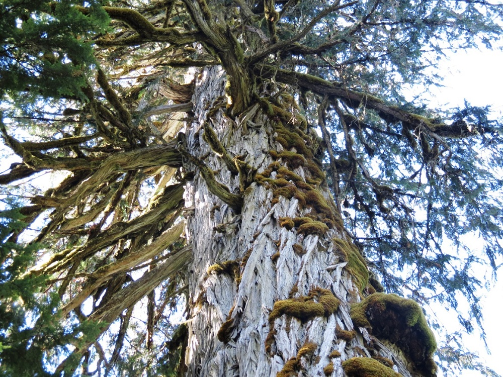 Admiral Broeren Cypress Tree, BC Coastal Region, Big Trees