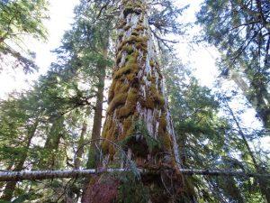 Cypress Trees, BC Coastal Region