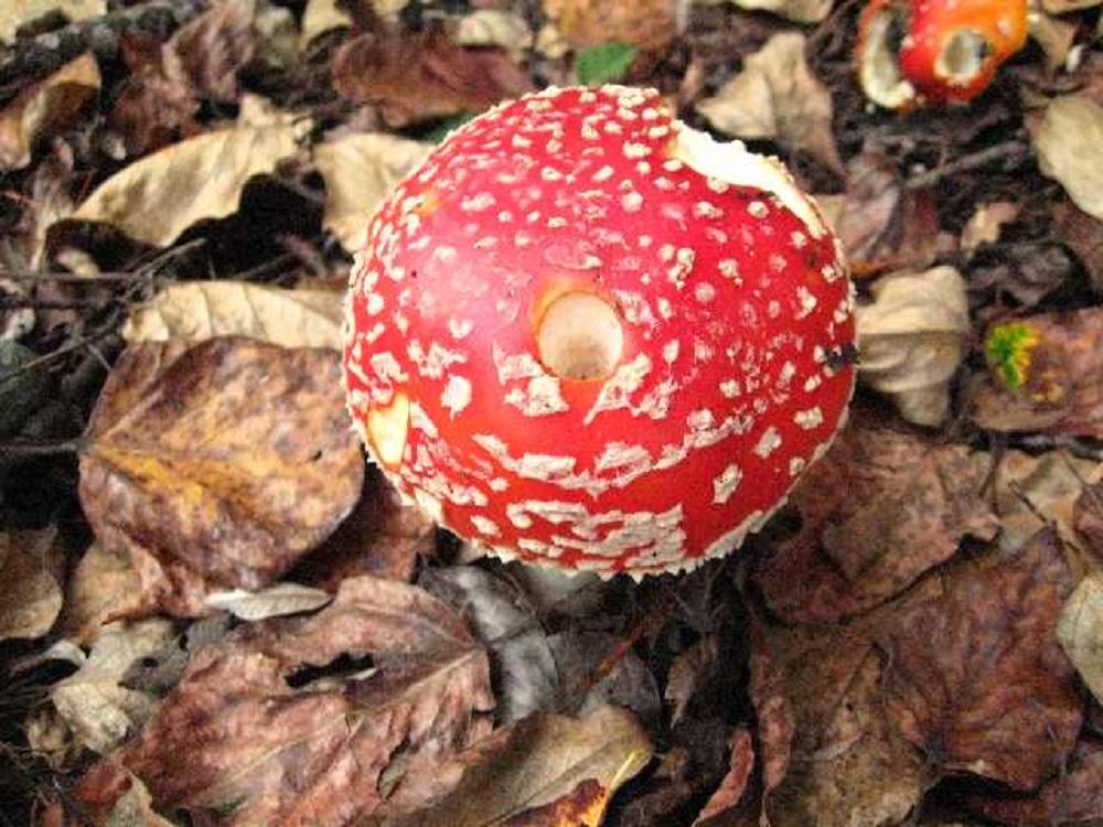 Amanita Muscaria, Non Edible Mushrooms, Pacific Northwest