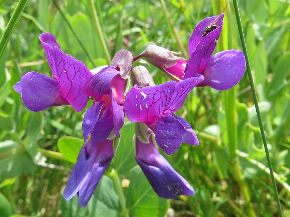 American Vetch, BC Coastal Region