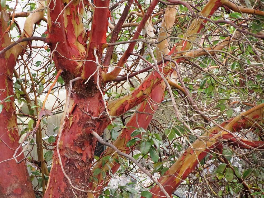 Arbutus Trees, BC Coastal Region