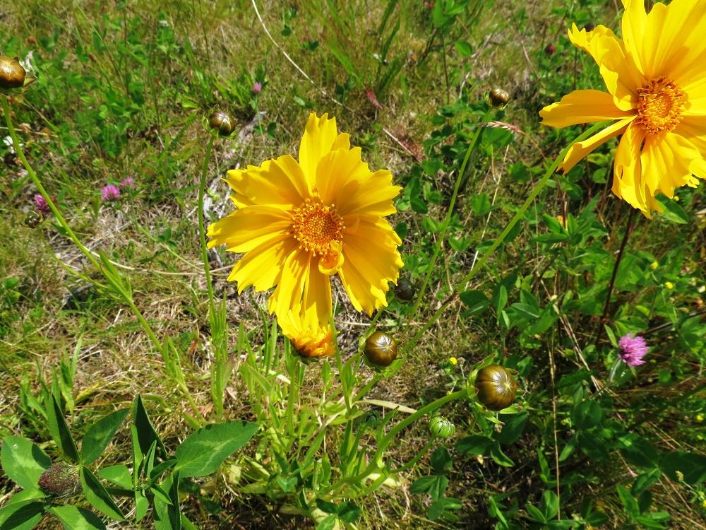 Arrow Leaved Balsamroot, Wildflowers, Pacific Northwest