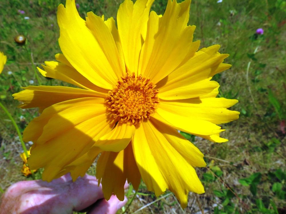Arrow Leaved Balsam Root, BC Coastal Region, wildflowers