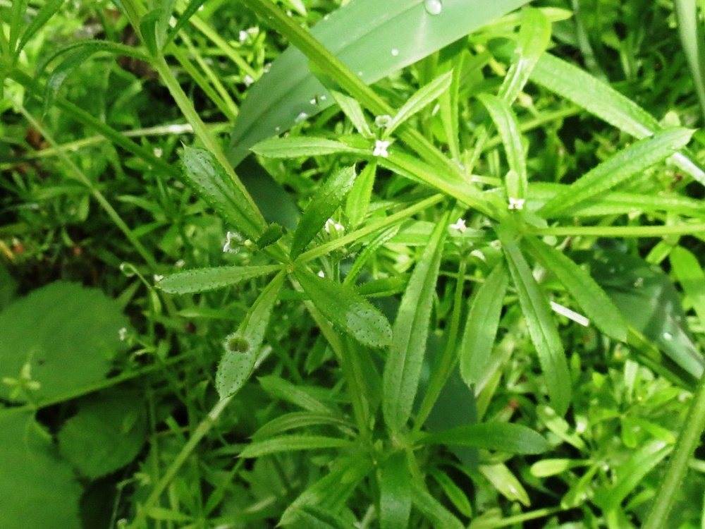 Cleavers, BC Coastal Region