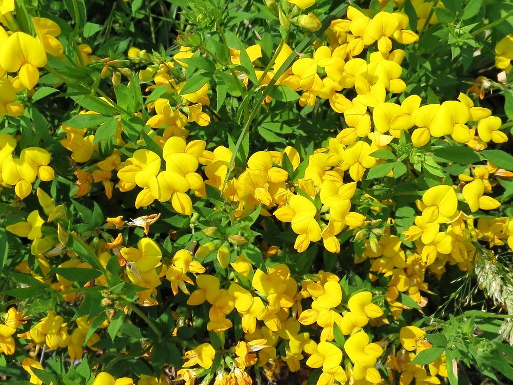 Birdsfoot Trefoil Plant, Wildflowers, Pacific Northwest
