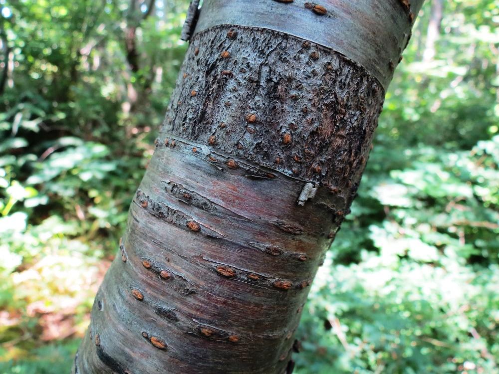 Bitter Cherry Trees, BC Coastsal Region