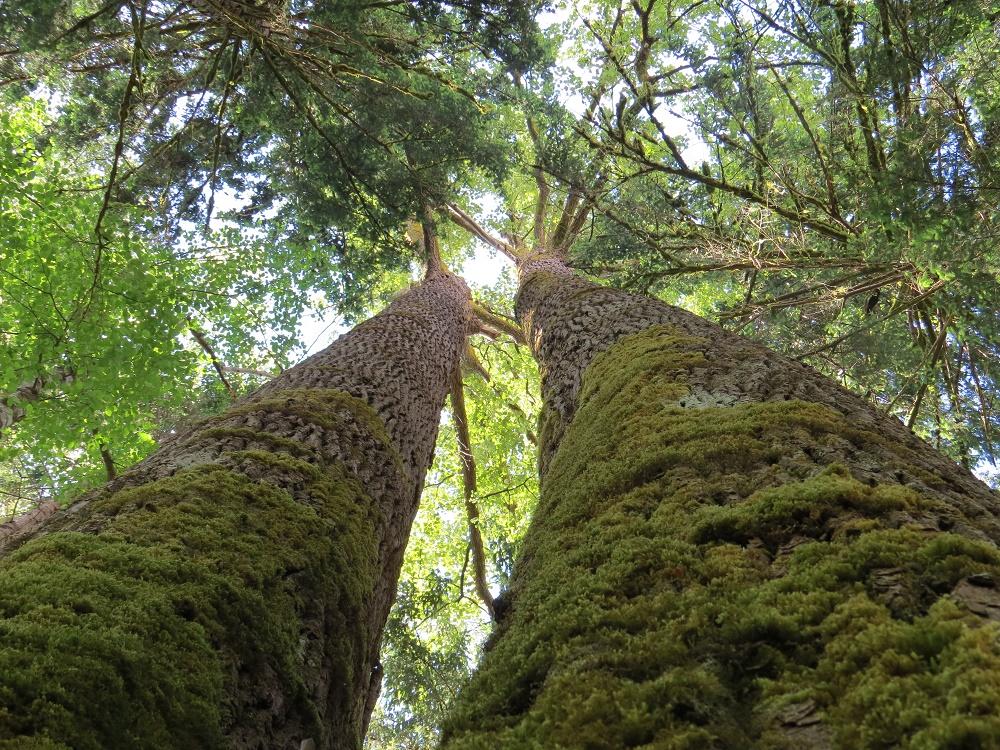 Black Cottonwood Trees, Deciduous Trees, Trees, Pacific Northwest