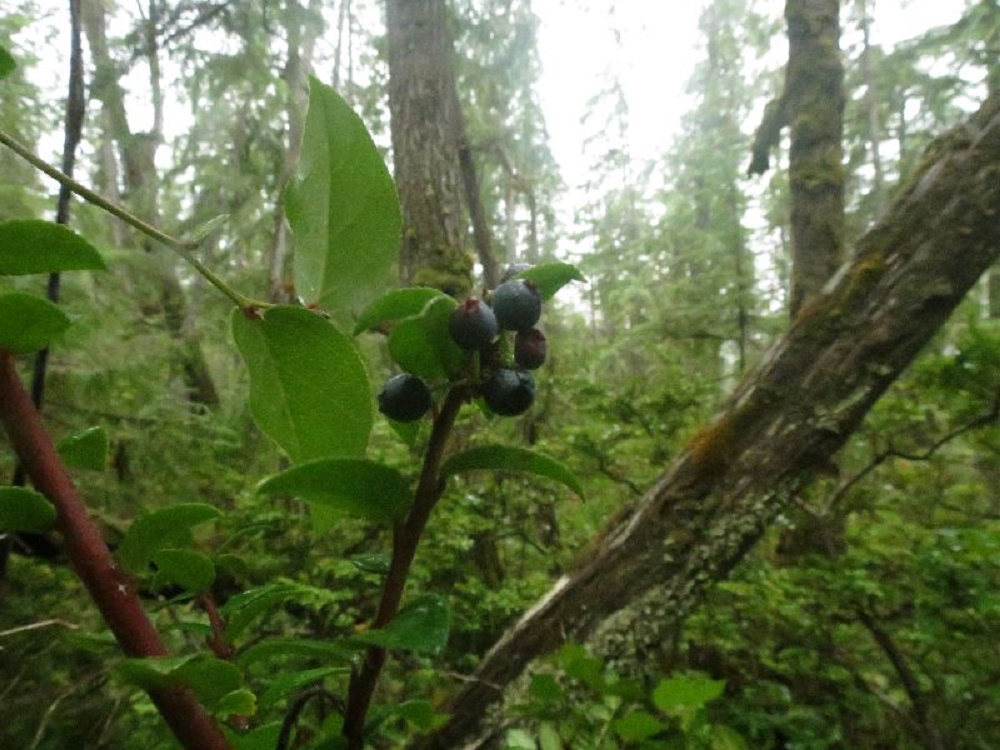 Black Huckleberries, BC Coastal Region