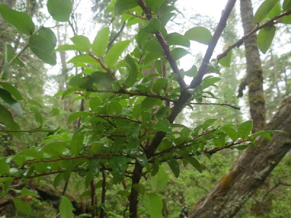 Black Huckleberry, Vancouver Island, BC