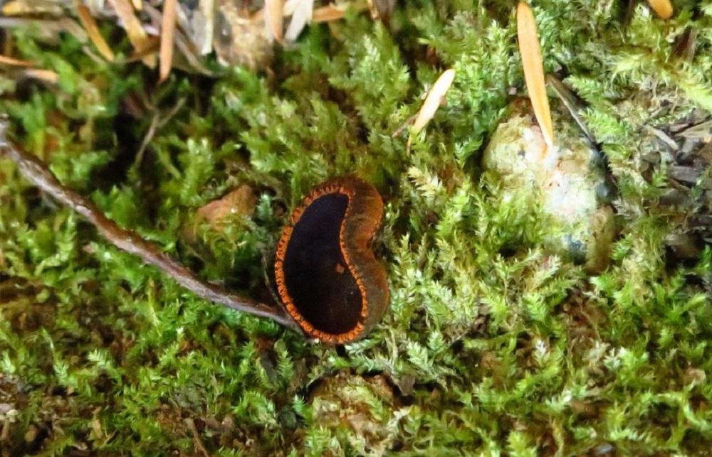 Black Urn Fungi, Non Edible Mushrooms, Pacific Northwest