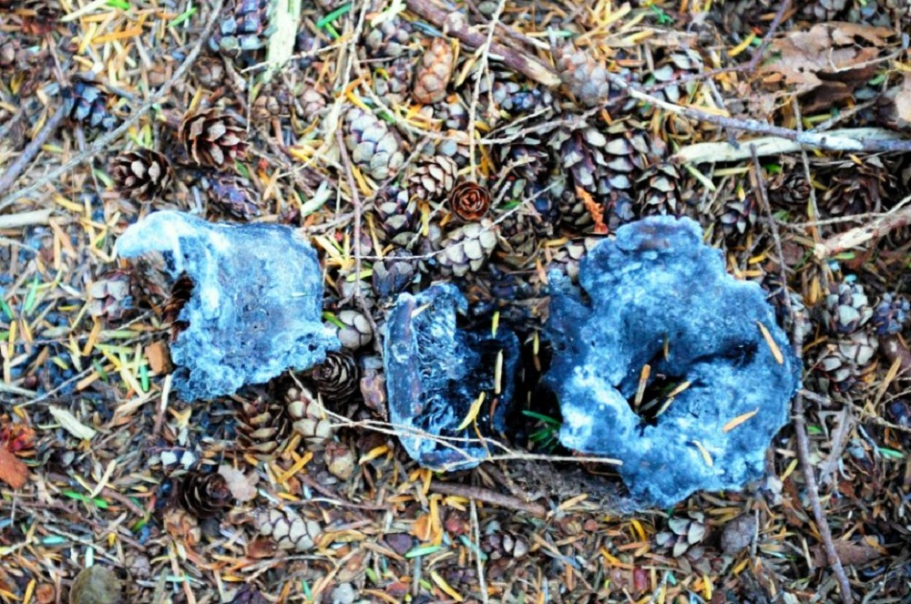 The Blue Chanterelle Mushroom is not common but can be found on Vancouver Island