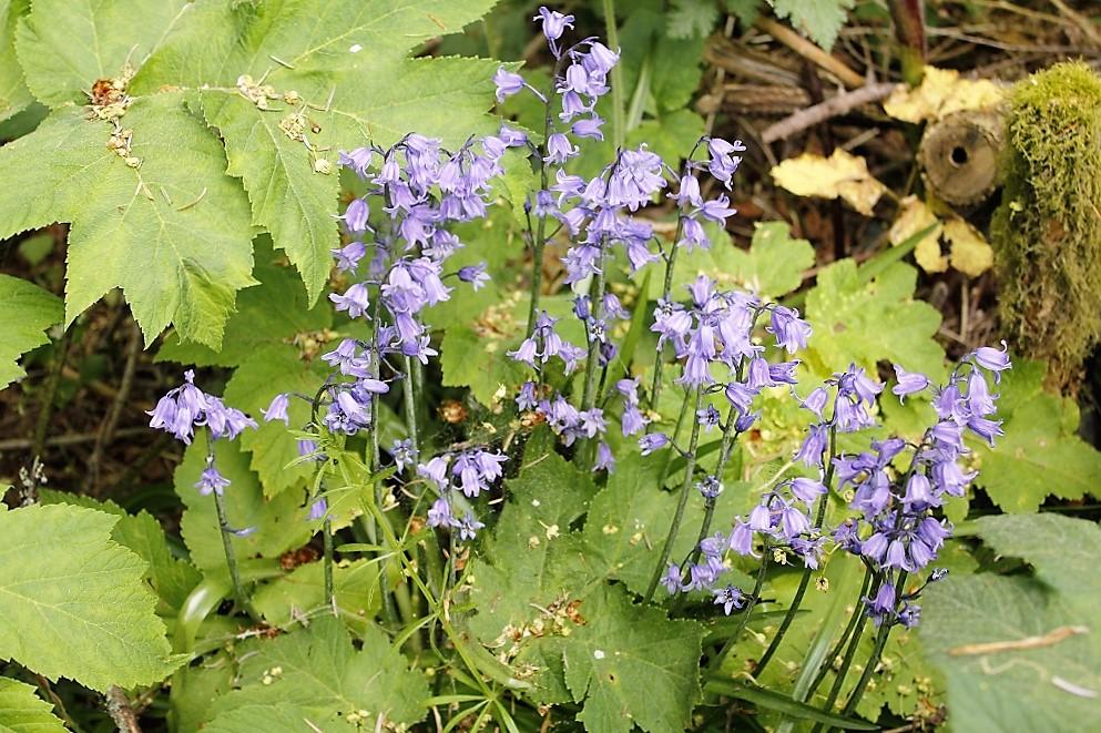 Spanish Bluebell Flowers, BC Coastal Region, Bluebells