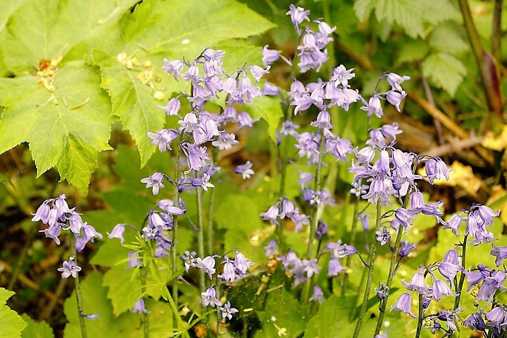 Bluebells, Wildflowers, Pacific Northwest
