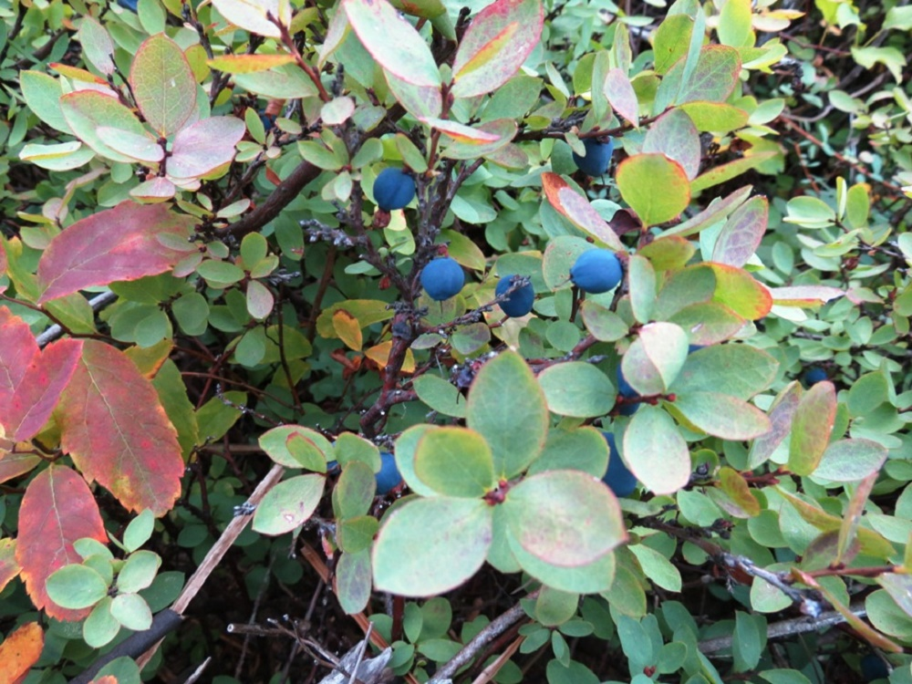 Blueberries, BC Coastal Region