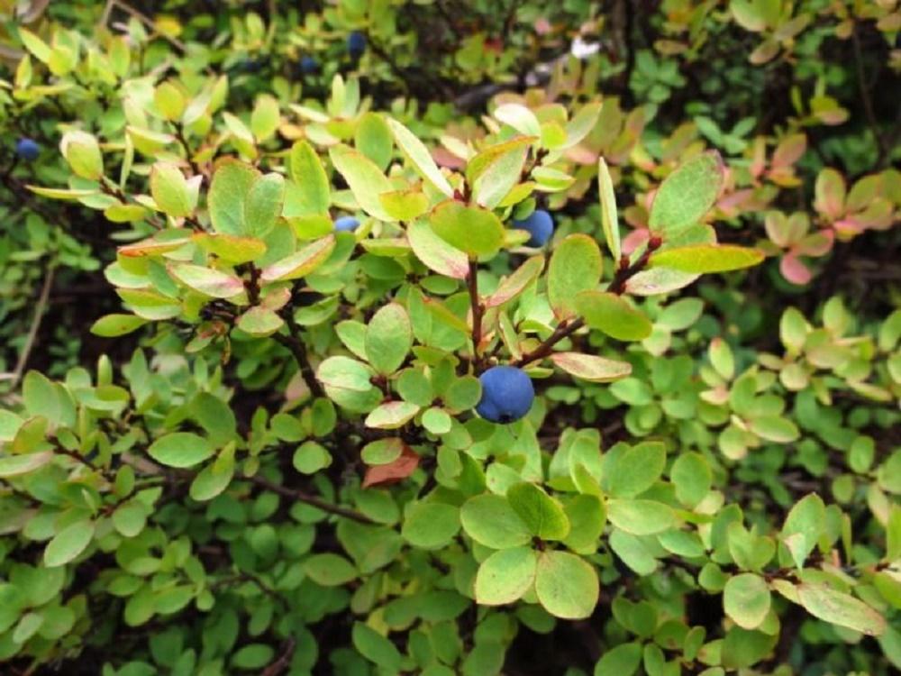 Blueberry, Pacific Northwest