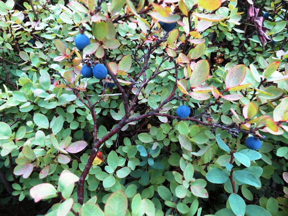Blueberry, Vancouver Island, BC