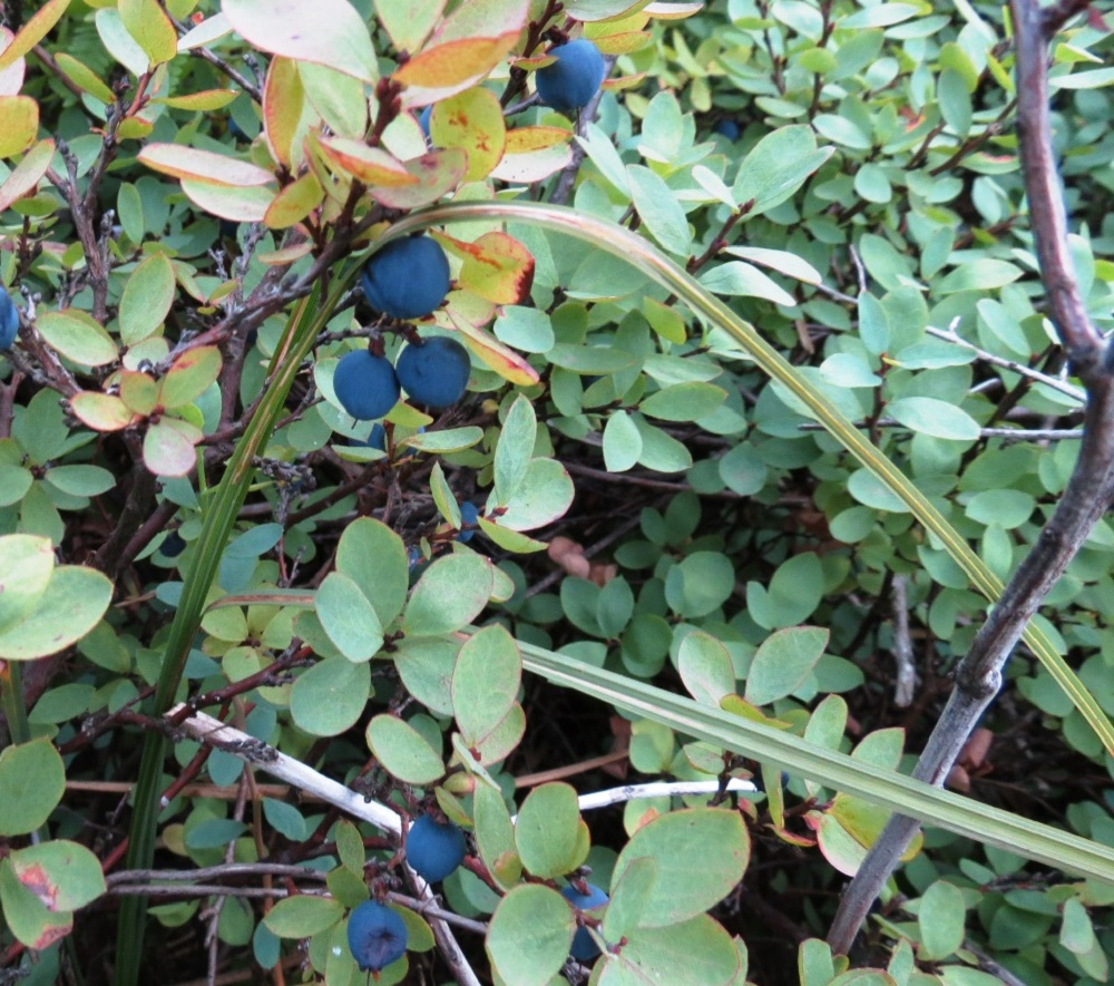 Blueberry Plant, Wildflowers, Pacific Northwest