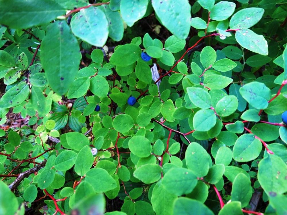 Blueberry Plant, BC Coastal Region