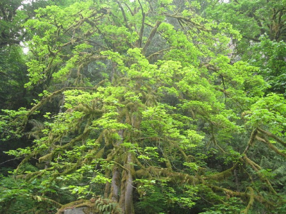 Broad Leaf Maple Trees, BC Coastal Region