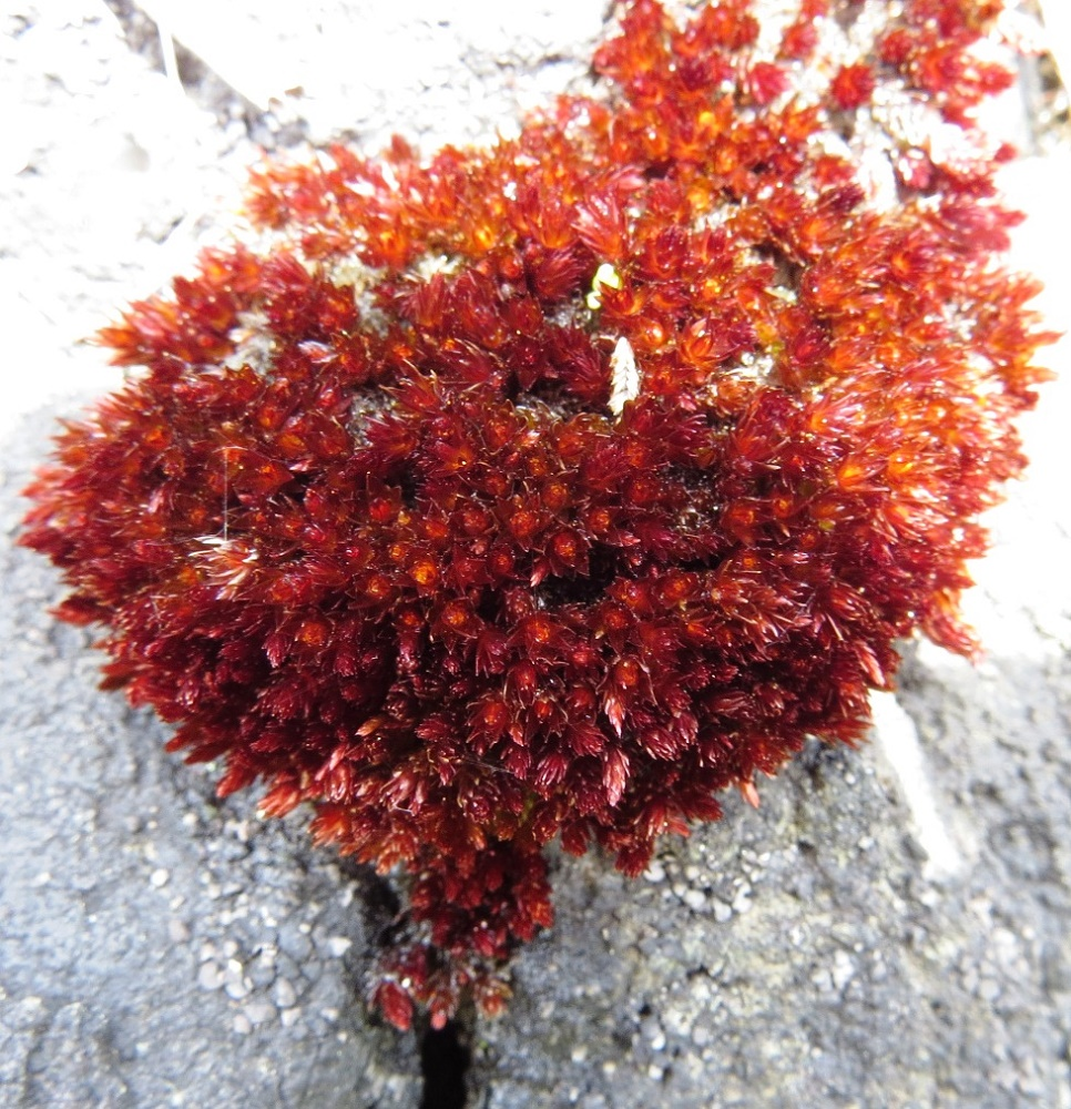 Bryum Miniatum Moss, Vancouver Island, BC