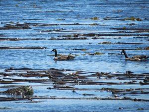Bull Kelp, BC Coastal Region