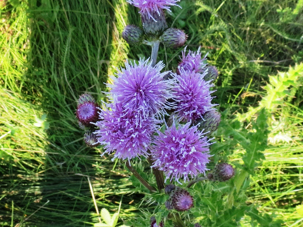 Bull Thistle, BC Coastal Region