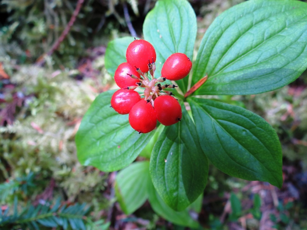 Bunchberry, Vancouver Island, BC