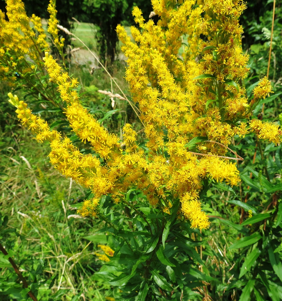 Canada Goldenrod, Wildflowers, Pacific Northwest