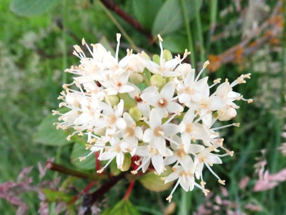 Cascara Flower, Vancouver Island, BC