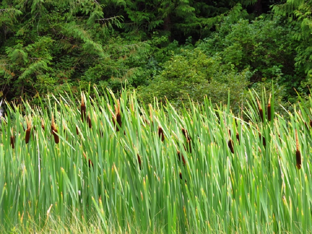 Cattails, Vancouver Island, BC