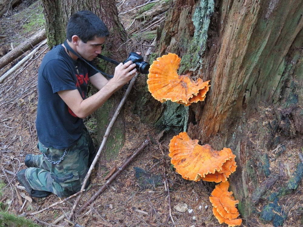Chicken Of The Woods Mushroom, Vancouver Island, BC