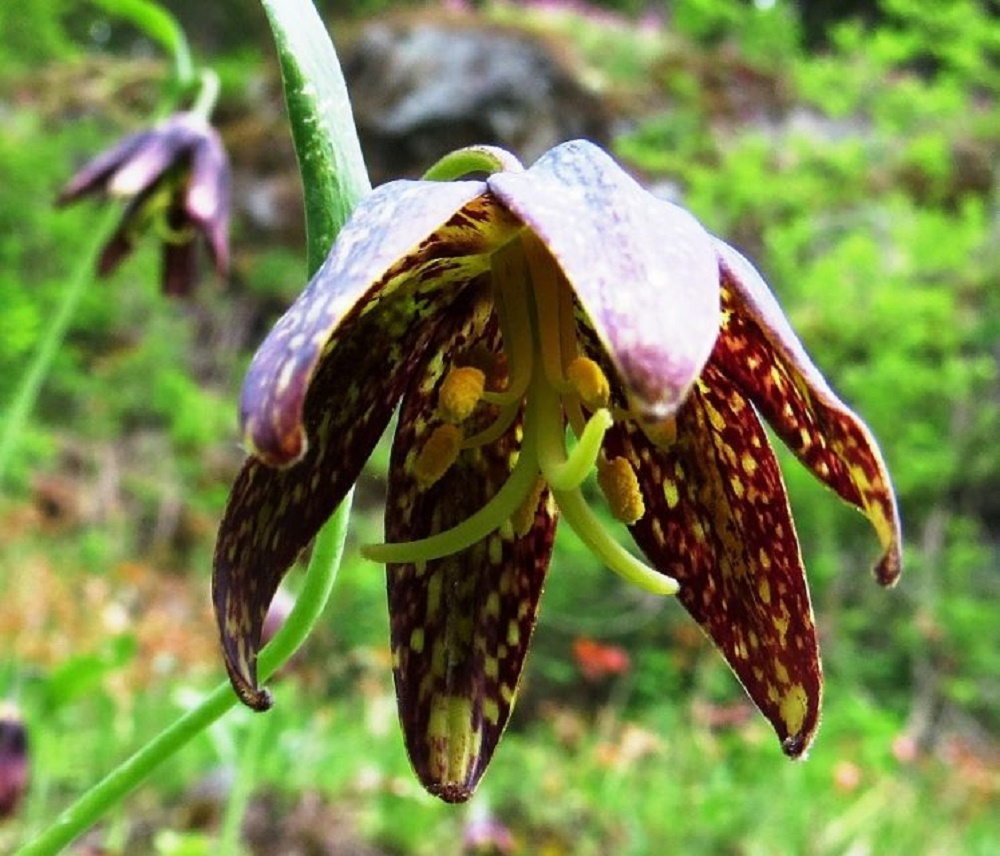 Chocolate Lily, BC Coastal Region, Edible Plants