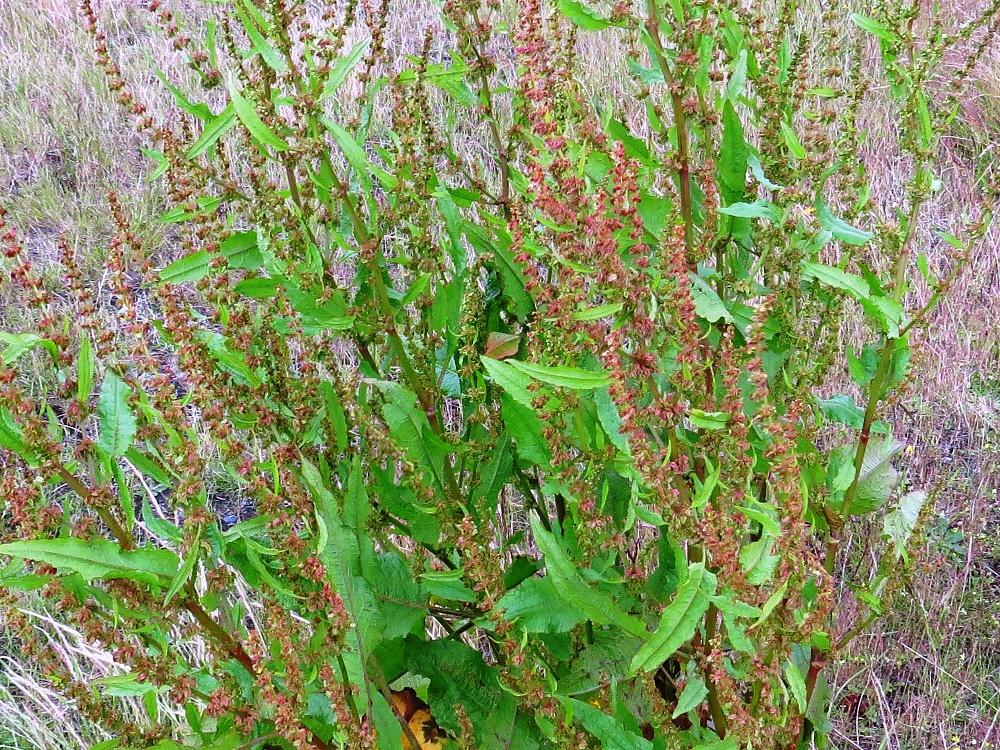 Common Sorrel, Wildflowers, Pacific Northwest