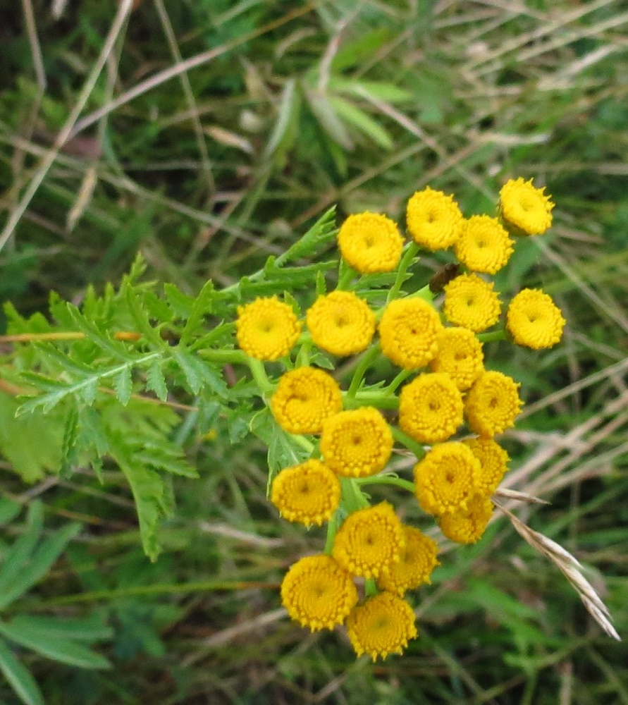 Common Tansy Plant, BC Coastal Region