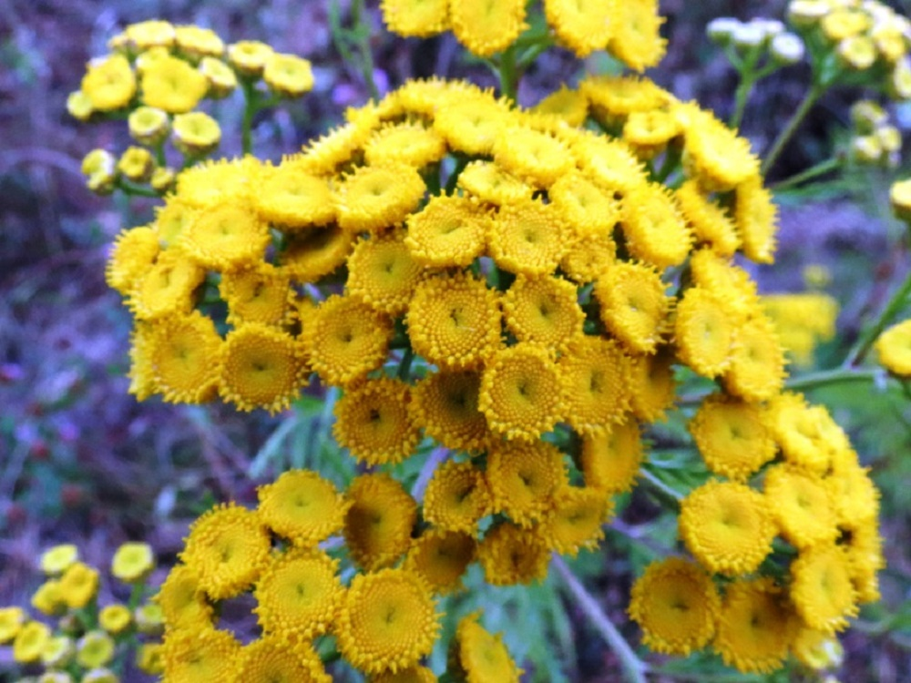 Common Tansy, BC Coastal Region