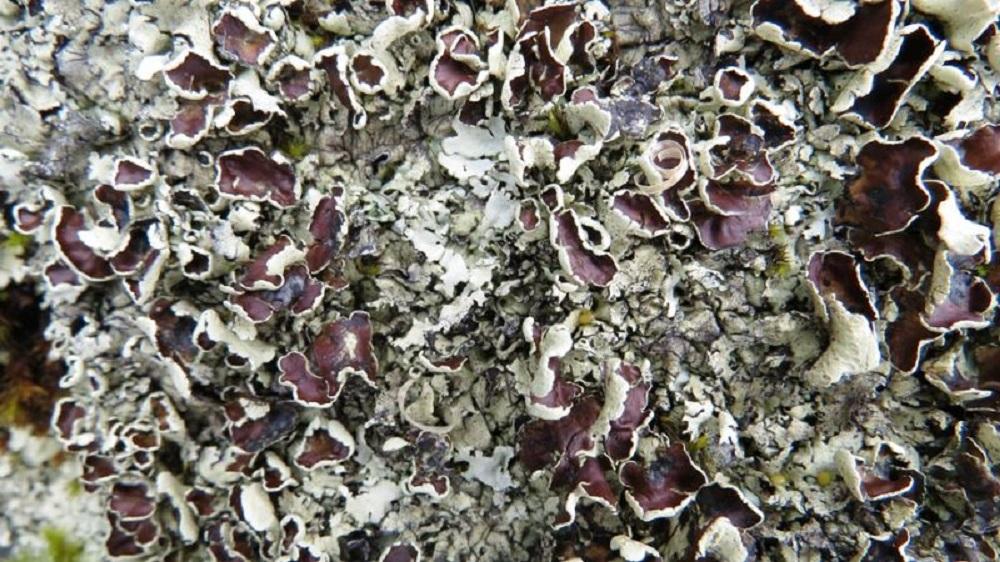 Cumberland Rock Shield Lichen, Vancouver Island, BC