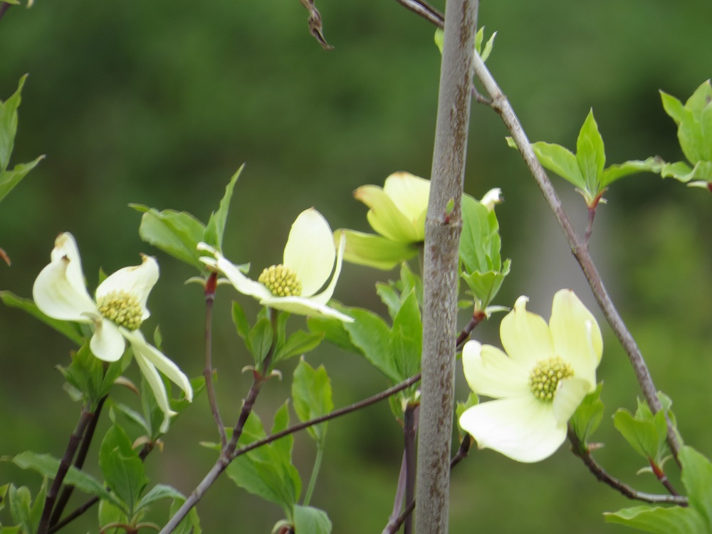 Western Dogwood Trees, Deciduous Trees, Trees, Pacific Northwest