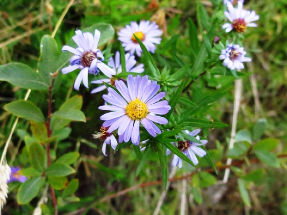 Douglas Aster, Wildflowers, Pacific Northwest
